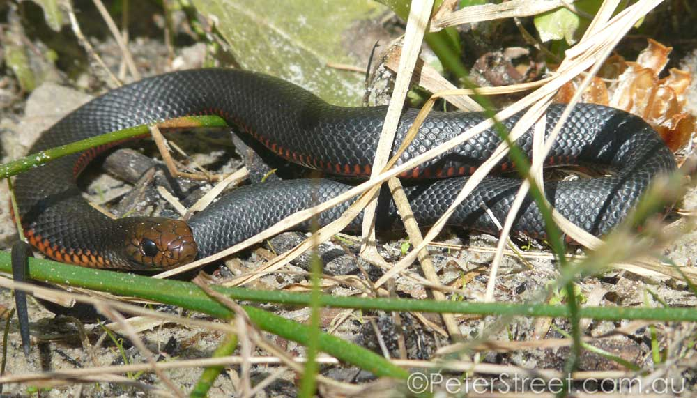 Juvenile Red-bellied Black Snake