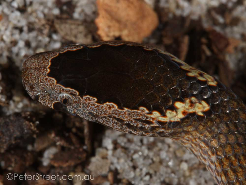 Golden Crowned Snake - Face Detail