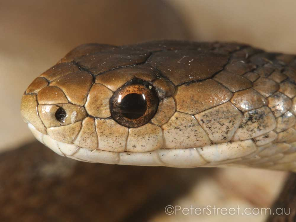 Rough Scaled Snake - Face Detail