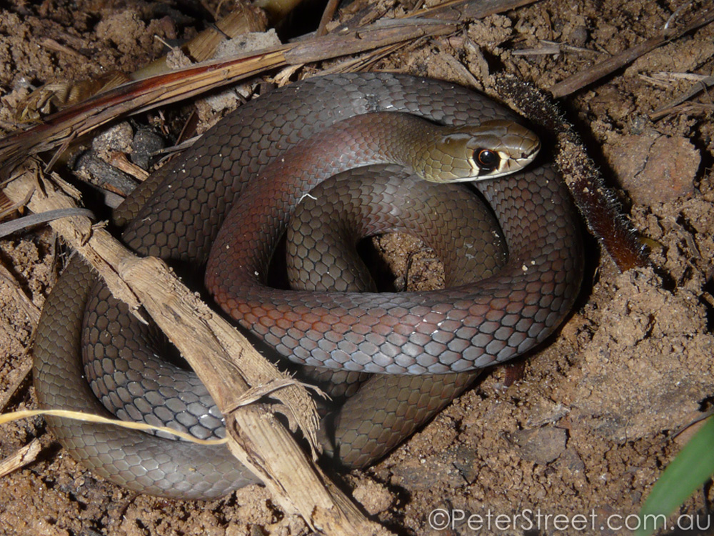 Yellow-faced Whipsnake, Demansia psammophis
